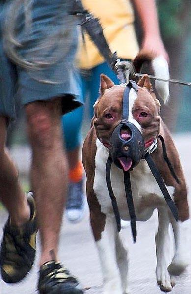 muzzled pit bull