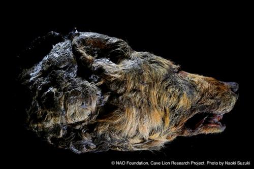 yakutian megafaunal wolf