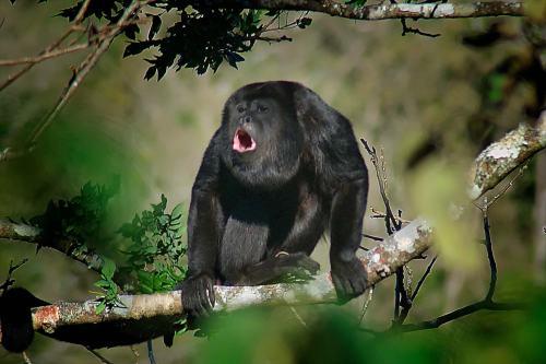 guatemala black howler