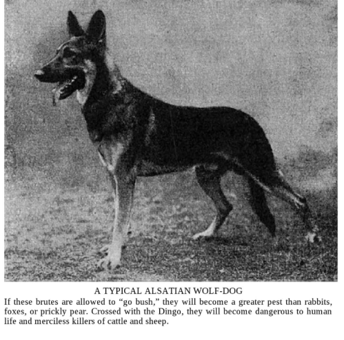 Alsatian wolf dog