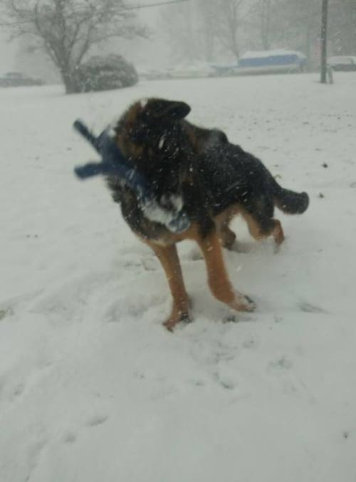 dare fetching the snow