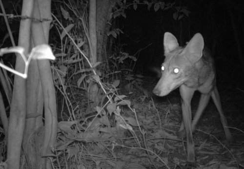 panama coyote