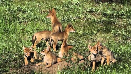 coyote pupps.jpg