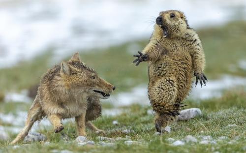 tibetan fox vs. marmot