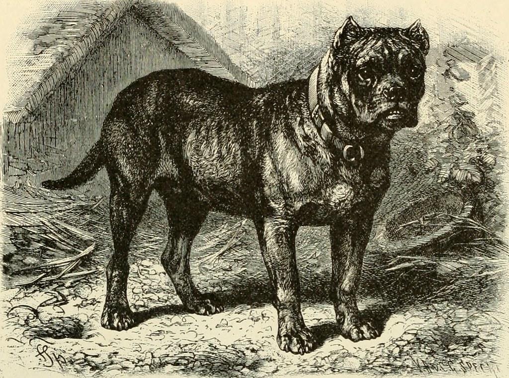 Brehm bulldog